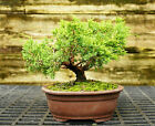 Bonsai Tree Shimpaku Juniper Itoigawa SJI 521C