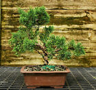 Bonsai Tree Shimpaku Juniper Kishu SJK 521C