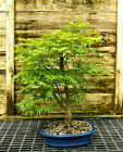 Bonsai Tree Japanese Maple Arakawa Corkbark Specimen JMAST 209D
