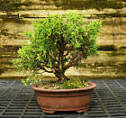 Bonsai Tree Shimpaku Juniper Itoigawa SJI 521D