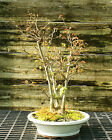 Bonsai Tree Trident Maple Turtleback TMC 524A