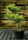 Bonsai Tree Japanese Black Pine JBP3G 118C