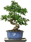 Chinese Bonsai Fukien Tea Indoor Tree White Blooms Red Berries Humidity Tray New