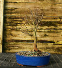 Bonsai Tree Japanese Maple Sharpes Pygmy JMSP 209A