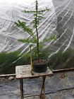 Larch Bonsai 12 Informal Upright Prefinished Nicely Branched