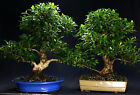 Golden Gate Ficus Indoor Bonsai Tree Specimen Tropical Import GGF4815