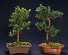 Podocarpus Indoor Bonsai Tree Tropical Bonsai Tree PM7005