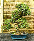Bonsai Tree Chinese Elm Specimen CEST 510A