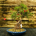Bonsai Tree Exposed Root Satsuki Azalea Kinsai Specimen SAKST 508D