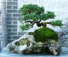 Bonsai Tree Shimpaku Juniper Itoigawa Lace Rock Planting SJILR 1229E