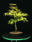 Bonsai Tree Japanese Maple Arakawa Corkbark Specimen JMA 220A