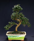 Chinese Elm Bonsai Outdoor Indoor Large Beginner Bonsai Tree CE8003