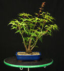 Bonsai Tree Japanese Maple Arakawa Corkbark Specimen JMA 220D