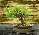 Bonsai Tree Shimpaku Juniper Itoigawa SJI 521A