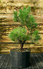 Bonsai Tree Japanese Black Pine JBP3G 1026B