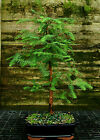 Bonsai Tree Dawn Redwood DR 728A