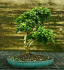 Kingsville Boxwood Specimen Bonsai Tree KBST 728A
