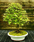Bonsai Tree Trident Maple TM 728F
