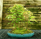 Bonsai Tree Trident Maple Grove 7 Trees TMG7 728E