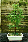 Bonsai Tree Dawn Redwood DR 728B