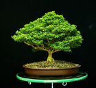 Kingsville Boxwood Specimen Bonsai Tree KBST 811