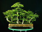 Specimen Bonsai Tree Chinese Elm Grove CEG9ST 811