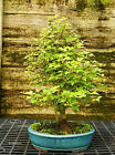 Bonsai Tree Trident Maple TM 814C