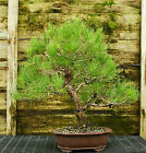 Bonsai Tree Japanese Black Pine JBP 815F
