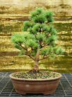 Bonsai Tree Five Needle White Pine WP 815A