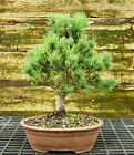 Bonsai Tree Five Needle White Pine WP 815C