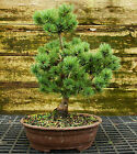 Bonsai Tree Five Needle White Pine WP 815D