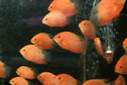 Red Spotted Gold Severum Medium 2 3 Live Freshwater Tropical Fish Cichlid