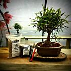 Willow Leaf Ficus Bonsai Starter Kit by New England Bonsai Gardens
