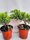 Two Tree Bonsai Juniper Garden Live House Plant growing in 4 Pot with Fishman