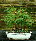 Bonsai Tree Dawn Redwood Grove DRG5 728B