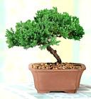 Green Mound Junpier Bonsai Tree 3 years old 9 tall Live Houseplant Gift Idea