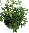 Dwarf Black Olive Pre Bonsai Tree Great Indoor Live Houseplant Growing in 4 pot