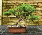 Bonsai Tree Shimpaku Juniper Kishu SJK 521A