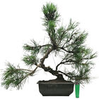 Pinus mugo pumilio dwarf mountain pine outdoor bonsai tree