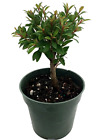 Australian Brush Cherry Bonsai Starter Plant Very easy to grow Eugenia 4 Pot