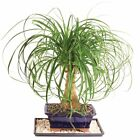Ponytail Palm Bonsai Tree Home Or Office Indoor Plant 7 Years Old Best Gift NEW