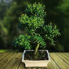 Flowering Indoor Outdoor Bonsai tree 30 35 cm in ceramic Pot Green Leaf Planter