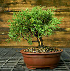 Bonsai Tree Shimpaku Juniper Itoigawa SJI 1026D