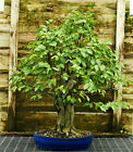 Pre Bonsai Specimen Field Grown American Hornbeam AHST 227