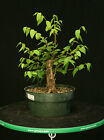 Bonsai Tree Collected Siberian Elm CSE 704C