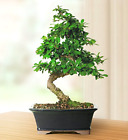 Fukien Tea Bonsai Tropical indoor Medium Bonsai Tree Live Plant Great Gift Idea