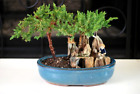BONSAI Juniper Tree Zen Garden With Pool Fishman in 7 clay pot Great Gift Idea