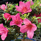 Satsuki Azalea Bonsai Tree 5 years old Outdoor Live Plant Great Green Gift Idea