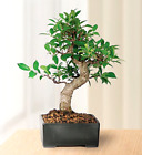 Golden Gate Ficus indoor Bonsai Tree Medium Tropical Live Plant Gift Idea