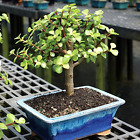 Dwarf Jade Indoor Bonsai Tree 5 years old Medium Live Plant Great Gift Idea